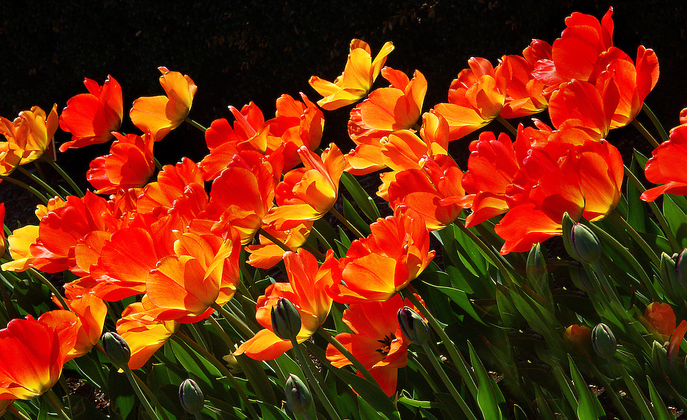 Tulips on the side of the lily pond.