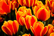 Orange Tulips - Washington