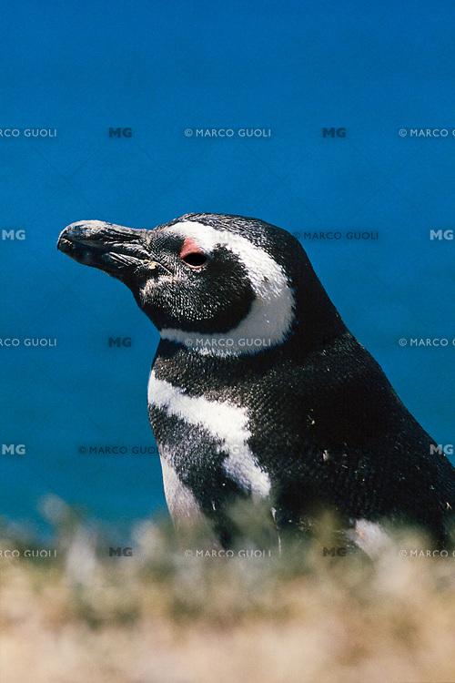 PINGUINO DE MAGALLANES (Sphenicus magellanicus), PENINSULA VALDEZ, PROV. DEL CHUBUT, PATAGONIA, ARGENTINA