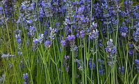 English Lavender (Lavandula angustifolia) flowers