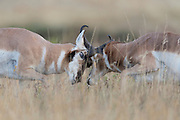 Pronghorn Bucks (Antilocapra americana) battle each other during the rut, Western Montana