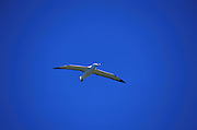 An albatross in flight at the Otago Peninsula, south island, new zealand, 1999.