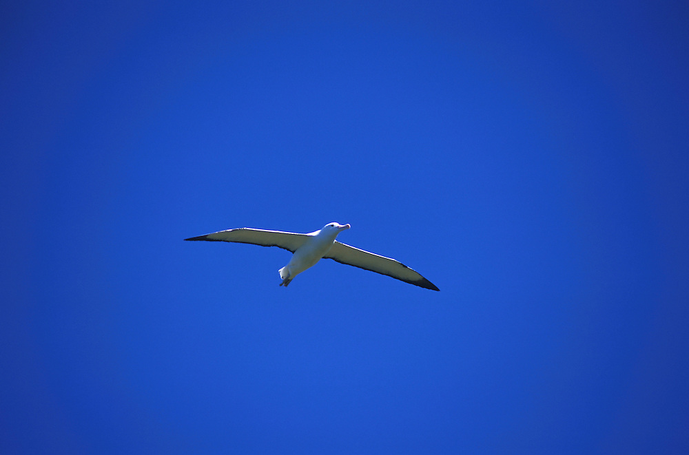 An albatross in flight at the Otago Peninsula, south island, new zealand, 1999.