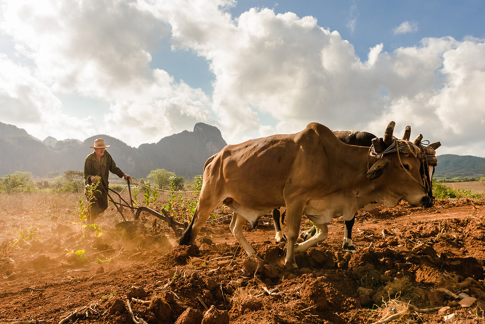 Cuban farmer sowing fields with cattle and plough