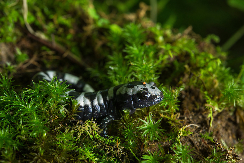 Marbled Salamander (Ambystoma opacum)<br /> CAPTIVE<br /> The Orianne Indigo Snake Preserve<br /> Telfair County. Georgia<br /> USA<br /> HABITAT & RANGE: Damp woodlands, forests and soft dirt. Flooded areas for breeding only. Eastern United States<br /> Threatened species in Massachusetts & Michigan. Protected species in New Jersey.