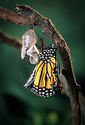 Emerging monarch butterfly (Danaus Plexippus). The butterly has just pushed itself out of the chrysalis casing. Fluid is being pumped from its abdomen into the wings. (9 0f 11).