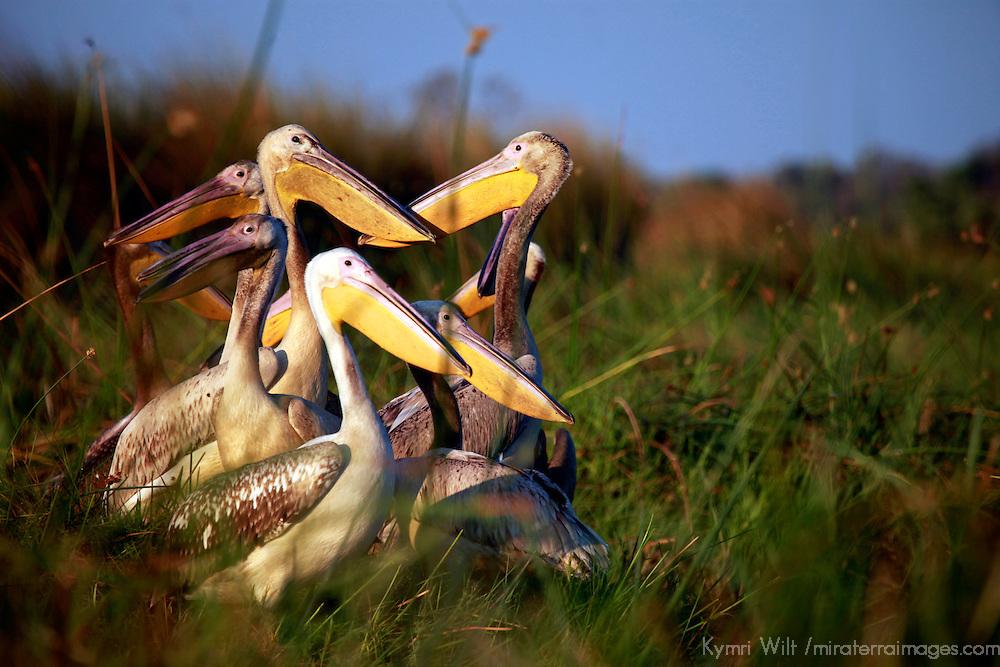 Africa, Botswana, Okavango Delta. Pink-backed Pelicans.