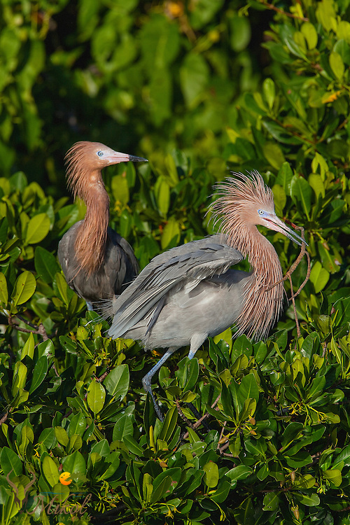 Reddish egret with branch in mouth for nest building
