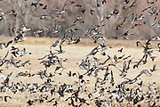 Northern Pintails, Green-winged Teal, Red-winged Blackbirds, Anas acuta, Anas crecca, Agelaius phoeniceus, feeding in field, Bosque del Apache NWR, New Mexico