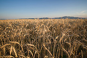Idaho, North. Golden stalks of wheat with  a blue sky on the Rathdrum Prairie. PLEASE CONTACT US FOR DIGITAL DOWNLOAD AND PRICING.