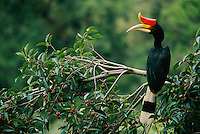 An adult male Rhinoceros Hornbill(Buceros rhinoceros) in the crown of a strangler fig tree (Ficus dubia).  Lowland rain forest of Gunung Palung National Park, Borneo.