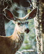doe whitetail deer