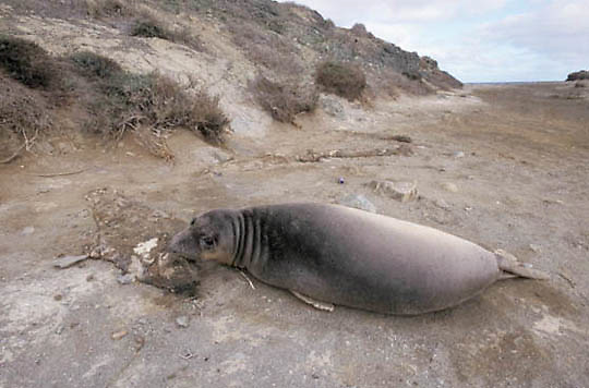 Northern Elephant Seal, (Mirounga angustirostris)  Seal on beach near baby seal carcass. San Benito Island. Mexico