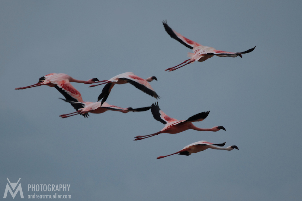 Group of flamingos captured during their flight across lake Nakuru in Kenya.