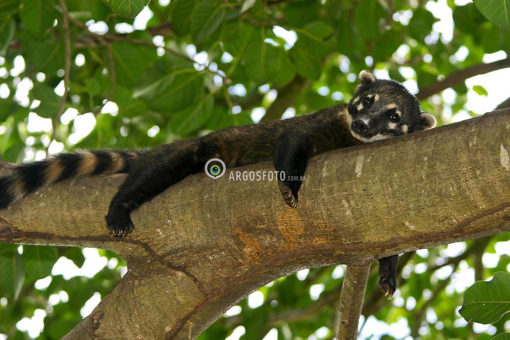Um quati (Nasua sp) no Pantanal. Corumba, MS / A coati (Nasua sp) in brazilian Pantanal. Corumba town, Mato Grosso do Sul state