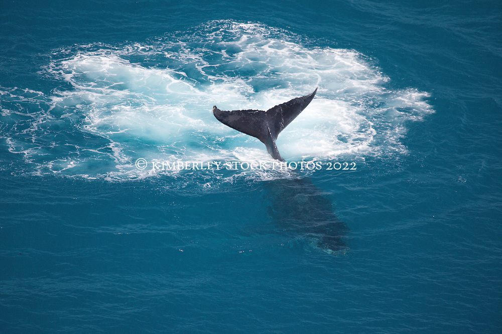 A humpback whale slaps its tail near Talboys Rock north of Broome.
