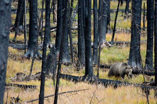 Grizzly Bear, (Ursus horribilis)  foraging for plants Yellowstone National Park. Fall.