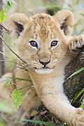 Lion<br /> Panthera leo<br /> 6-7  week old cub(s)<br /> Masai Mara Reserve, Kenya