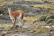 A guanaco is carefully checking it's surroundings.  There is a mountain lion resting in a rock outcropping behind us - in the direction the guanaco is looking.