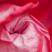 Flowers: Reds