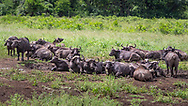 African buffalo-buffle d'Afrique (Syncerus caffer), South Africa.