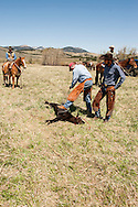 Cowboys, dragging calves to the fire, branding, Lazy SR Ranch, Wilsall, Montana, Troy Griemsman, Dirk Adams
