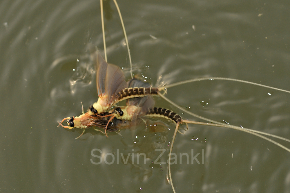 In an attempt to mate several male long-tailed mayflies (Palingenia longicauda) congregate about a hatching individual, which turns out to be a male, too. As soon as they realise their mistake the males take off for another try. Tisza blooming (Tiszavirágzás). It is when millions of long-tailed mayflies (Palingenia longicauda) are rising in huge clouds, reproduce, and perish, all in just a few hours.