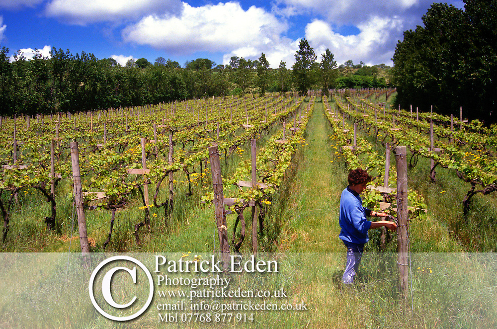 Vines, Adgestone Vineyard Photographs of the Isle of Wight by photographer Patrick Eden photography photograph canvas canvases