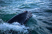 Whales in Baja California Sur