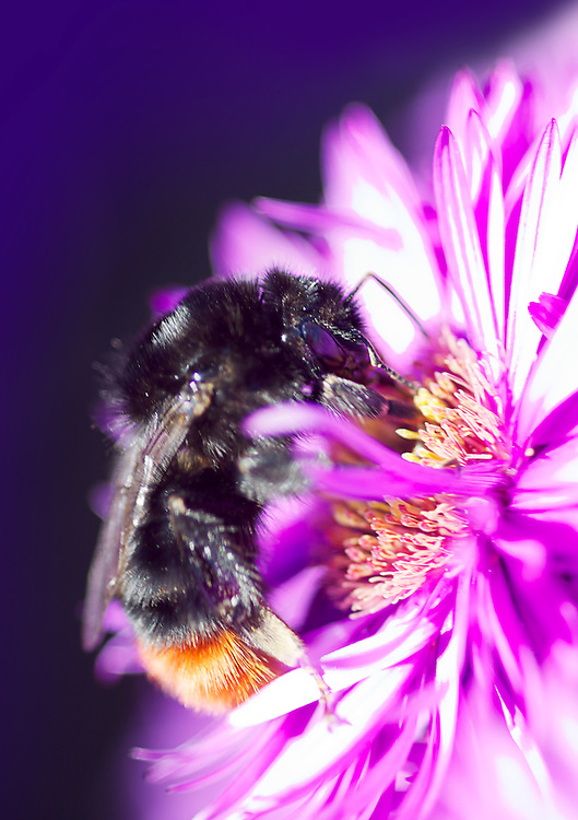 I am not sure what happened to this macro shot of this bee but it seems to glow with a purple aura.