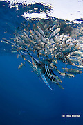 striped marlin, Kajikia audax (formerly Tetrapturus audax ), feeding on baitball of sardines or pilchards, Sardinops sagax, off Baja California, Mexico ( Eastern Pacific Ocean )