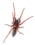 Drassodes cupreus - Male. A large nocturnal ground-living hunting spider. It is common on heaths and dry grasslands as well as in gardens.