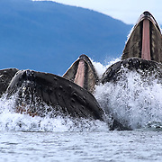 Humpback whales (Megaptera novaeangliae) in Chatham Strait, Alaska emerging from the water with their mouths wide open to feed on schools of fish. There are fish, probably herring, visible in the photo. From this angle, there is a clear view of the baleen hanging down from the top of the humpback whales' mouths.