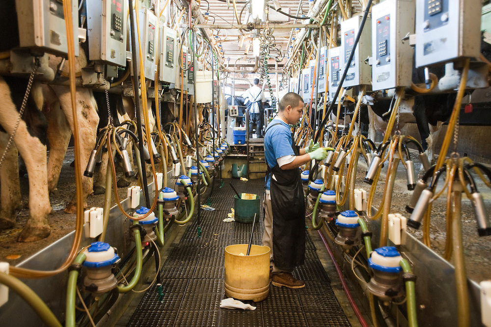 Dairy cows being milked in Colora Maryland