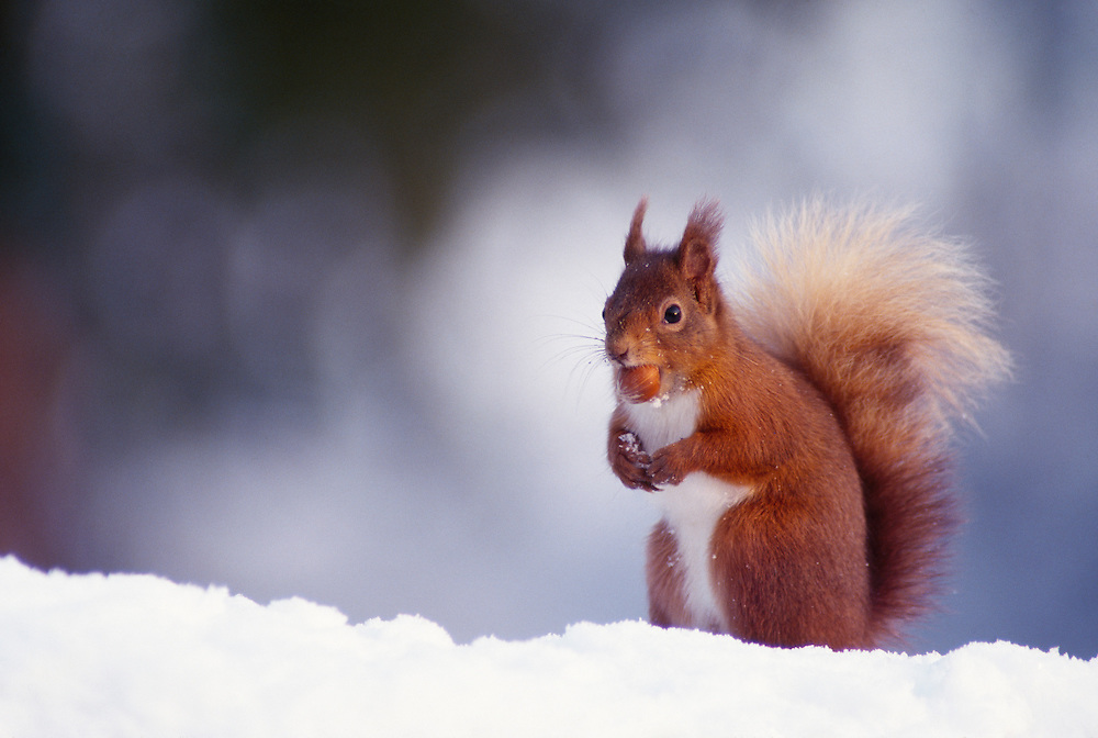 RED SQUIRREL SNOW WITH HAZELNUT