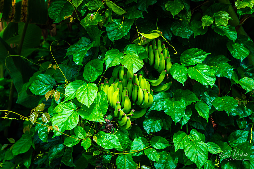 Banana and lush vegetation on the Hamakua Coast, The Big Island, Hawaii USA