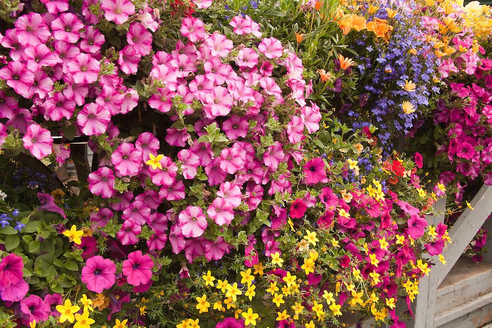 Summer blossoms in Breckenridge, Colorado.