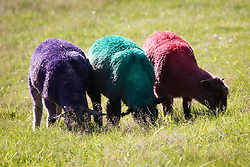Image ©Licensed to i-Images Picture Agency . 17/07/2014 . Henham Park , Suffolk , United Kingdom . The festival's iconic , coloured sheep graze in the afternoon sunshine . People enjoy the heat as temperatures soar in to the late 20s degrees centigrade in Suffolk at The Latitude Festival of music and arts . Picture by Joel Goodman/i-Images
