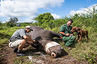 Immobilised white rhino being treated by a vet as an anti-poaching tracking dog and handler looks on, Thanda Private Game Reserve, KwaZulu Natal, South Africa