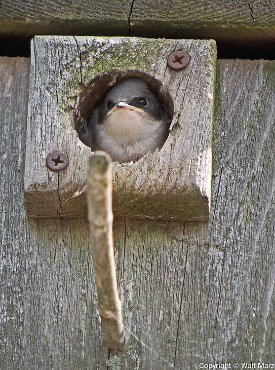 Young Tree Swallow (Tachycineta bicolor) in Nesting box, Castle Island Camps, Belgrade Lakes, Maine