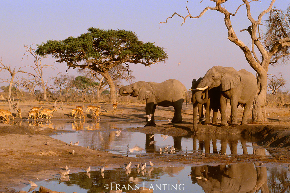 African elephants,  impalas and ring-necked doves, Chobe National Park, Botswana