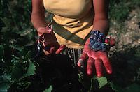 Harvester holding grapes, Languedoc, southwest France - Photograph by Owen Franken