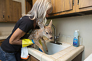 Black-tailed Deer<br /> Odocoileus hemionus<br /> 1-2 week old orphaned fawn being bathed by Diane Nicholas, President of Kindred Spirits Fawn Rescue<br /> Loomis, California