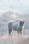 European Bison (Bison bonasus) standing in dune landscape
