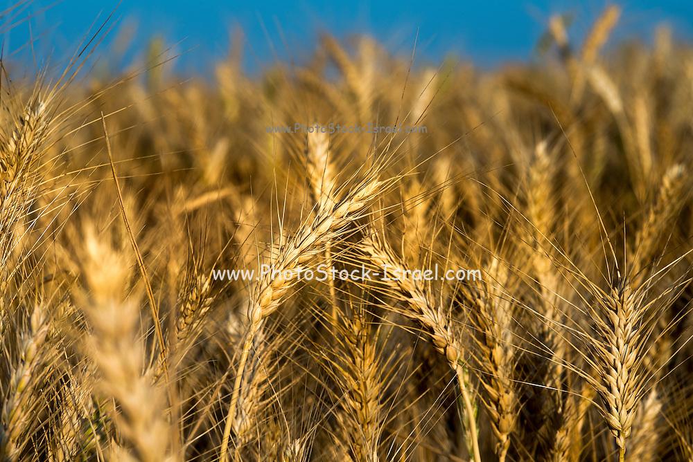 Wheat field Photographed in Eshkol region Israel
