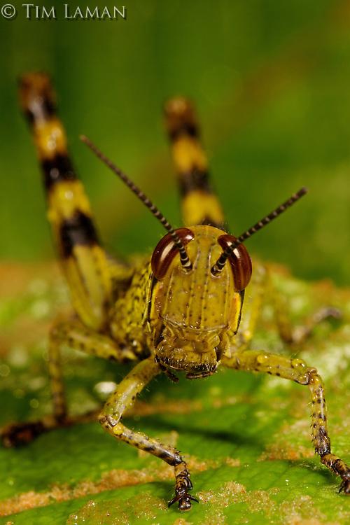 A grasshopper on a green leaf near the field lab in Mu Village..