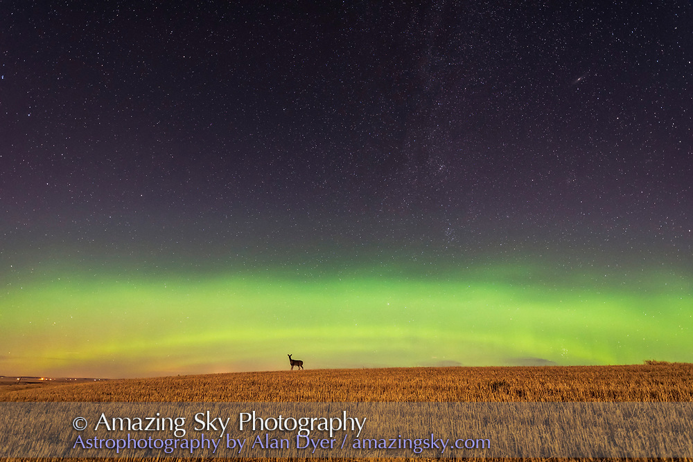 The aurora of September 27, 2017 from home in southern Alberta, in a view looking north toward the main auroral curtain, at the start of the display early in the evening, when a deer wandered by on the wheatfield, and stopped to look at the camera! The deer also held still for the 10 second exposure!<br /> <br /> This is a single frame from a 700-frame time-lapse. <br /> <br /> This is 10 seconds at f/2.5 with the Sigma 14mm Art lens and Nikon D750 at ISO 3200. <br /> <br /> The setting waxing Moon is providing the foreground illumination.