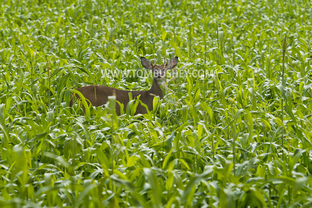 Hamptonburgh, New York  - A white-tailed deer stands in a cornfield on Sept. 29, 2013.