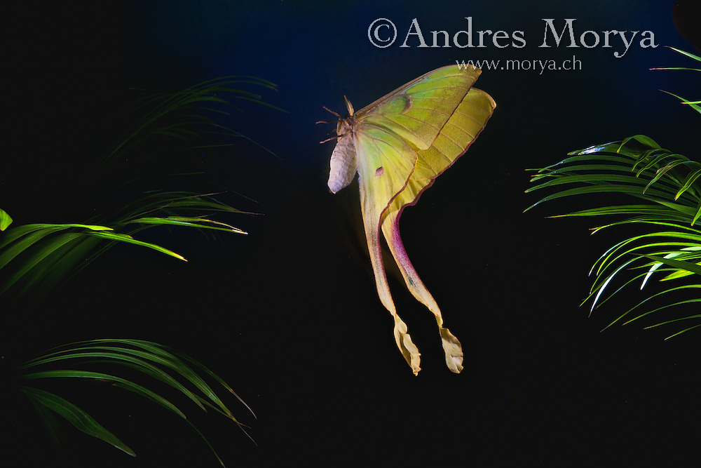 Malaysian moon moth flying (Actias maenas), Malaysia. The Malaysian moon moth ranges from Malaysia, to Sumatra, Java, and the surrounding region in Southeast Asia and South Asia. The male has extremely long tail streamers which are slightly twisted. The central brown markings on the wings appear to reinforce the illusion of a mammal predator. The mimic ''eyes' of this species have a triangular yellow indent in them. Insects in flight, high speed photographic technique. Image by Andres Morya