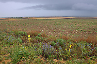 Steppe fields with flowers, Bagerova Steppe, Kerch Peninsula, Crimea, Ukraine